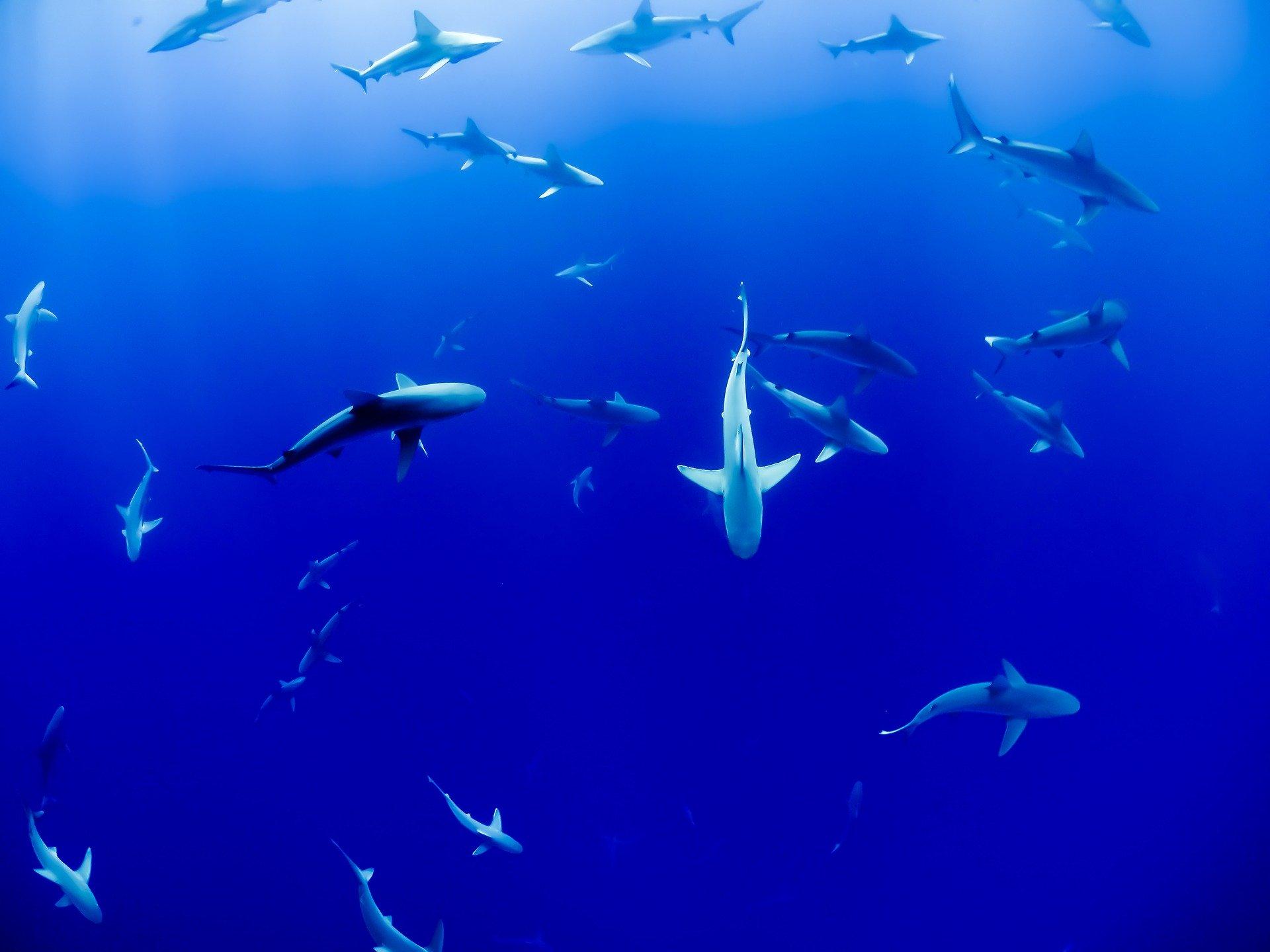 shark-ocean