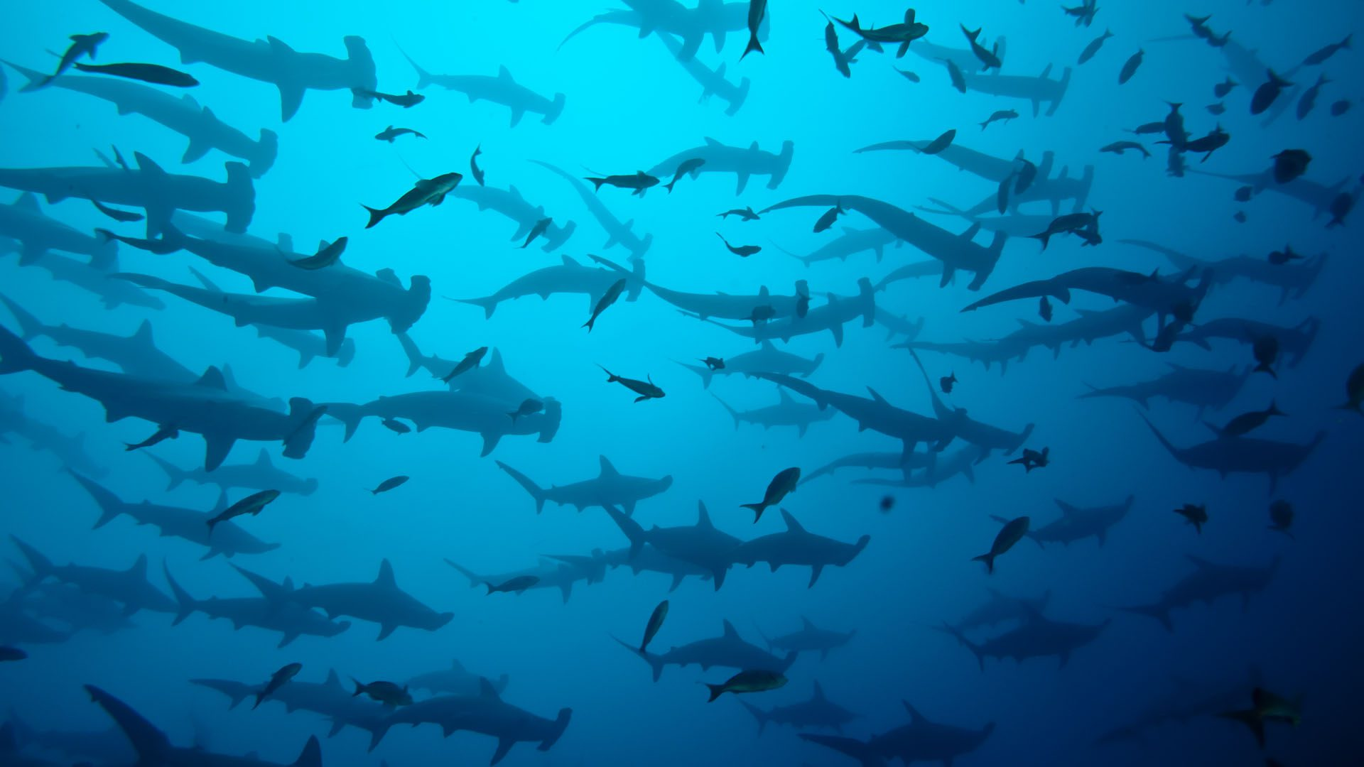 sharks swimming in a group